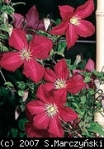 Clematis - Polonez