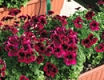 LIELZIEDU PELARGONIJA  CANDY FLOVERS DARK RED