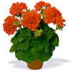 ZONĀLĀ PELARGONIJA PERLENKETTE ORANGE